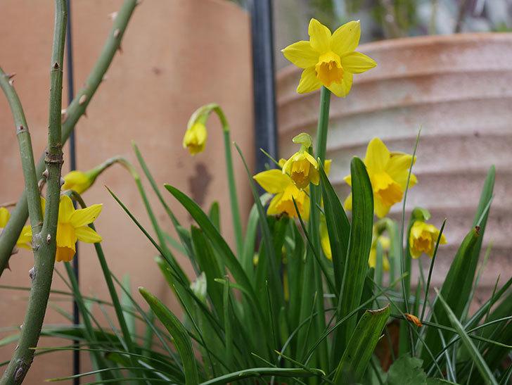 テタテート(ミニスイセン)の花がたくさん咲いた。2020年-9.jpg
