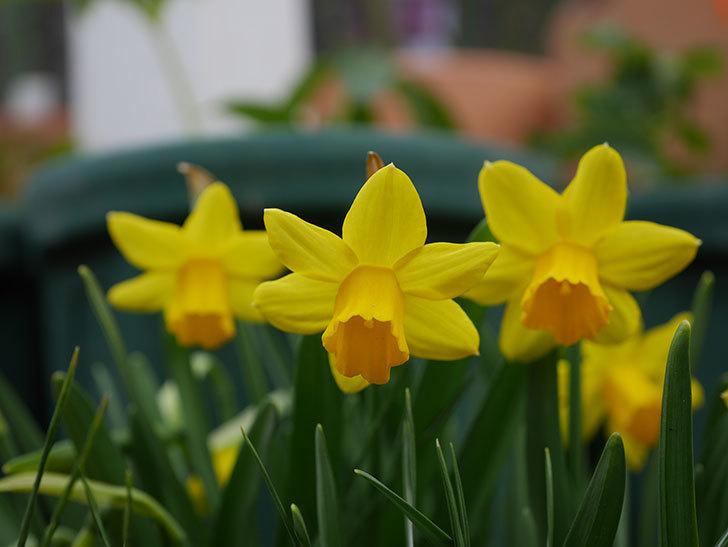 テタテート(ミニスイセン)の花がたくさん咲いた。2021年-005.jpg