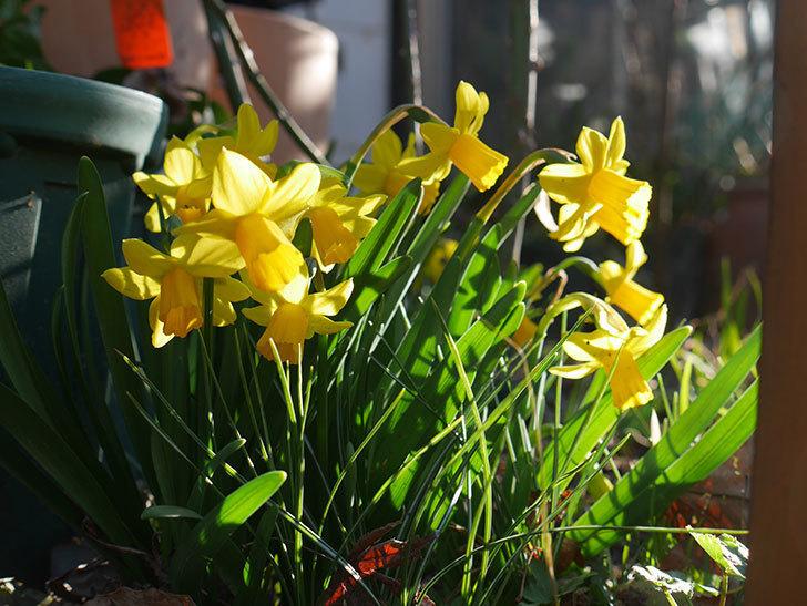 テタテート(ミニスイセン)の花がたくさん咲いた。2021年-008.jpg