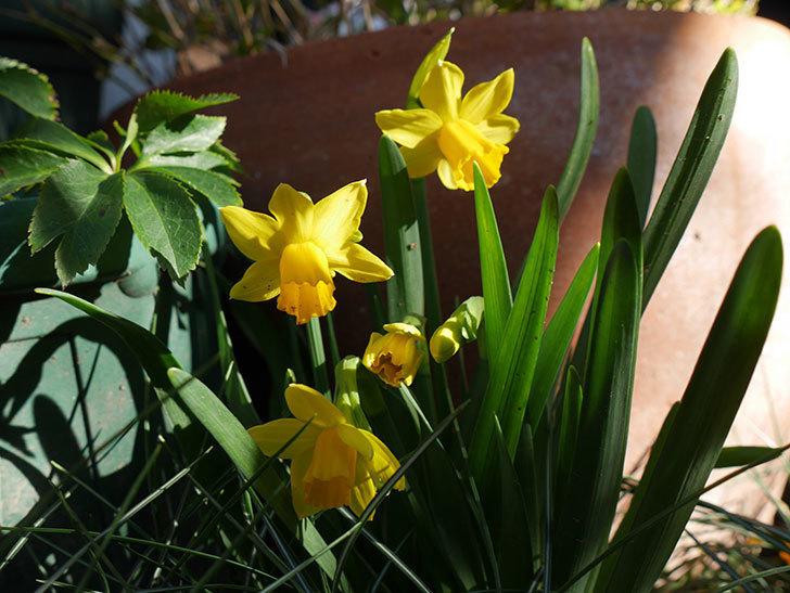 テタテート(ミニスイセン)の花がたくさん咲いた。2021年-012.jpg