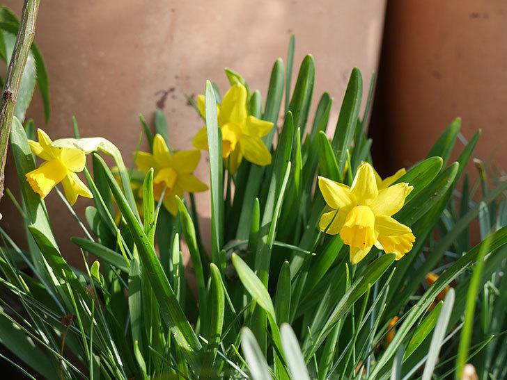 テタテート(ミニスイセン)の花がたくさん咲いた。2021年-018.jpg