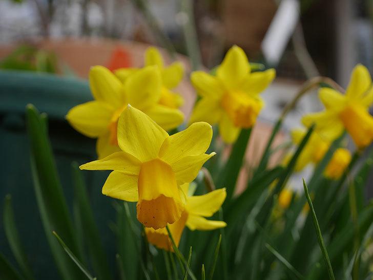 テタテート(ミニスイセン)の花がたくさん咲いた。2021年-024.jpg