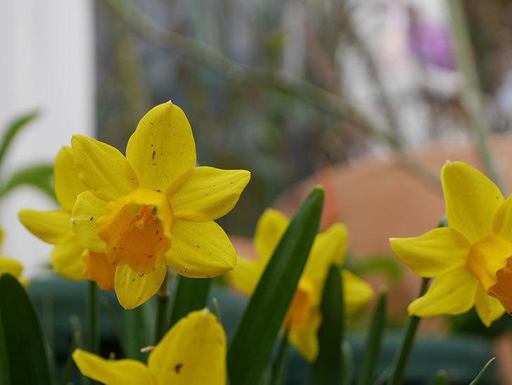テタテート(ミニスイセン)の花がたくさん咲いた。2021年-029.jpg