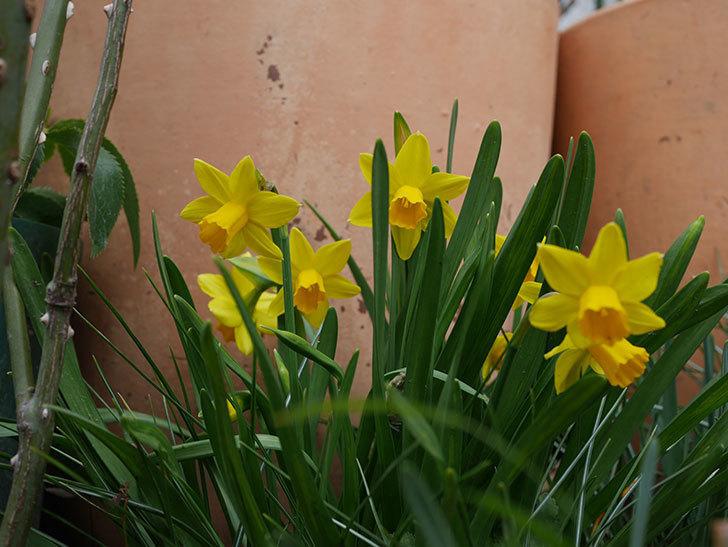 テタテート(ミニスイセン)の花がたくさん咲いた。2021年-030.jpg
