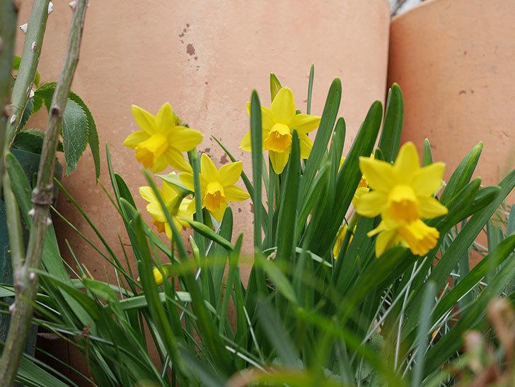 テタテート(ミニスイセン)の花がたくさん咲いた。2021年-031.jpg