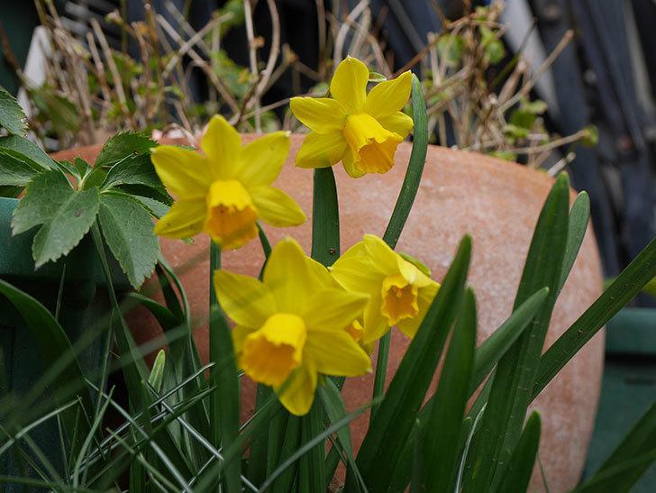 テタテート(ミニスイセン)の花がたくさん咲いた。2021年-033.jpg