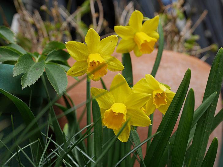 テタテート(ミニスイセン)の花がたくさん咲いた。2021年-034.jpg