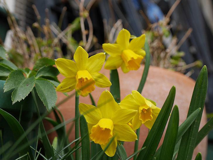 テタテート(ミニスイセン)の花がたくさん咲いた。2021年-035.jpg