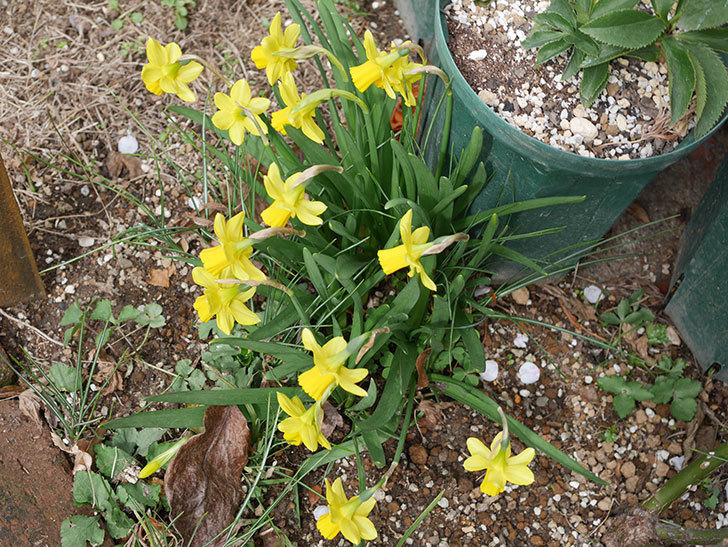 テタテート(ミニスイセン)の花がたくさん咲いた。2021年-038.jpg