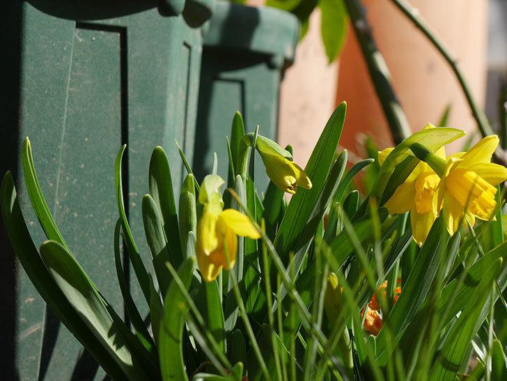 テタテート(ミニスイセン)の花が咲いた。2021年-002.jpg