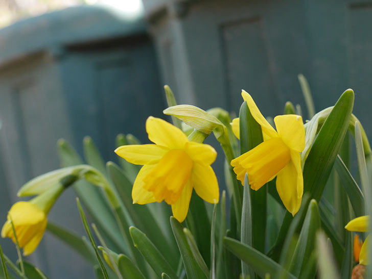 テタテート(ミニスイセン)の花が咲いた。2021年-003.jpg