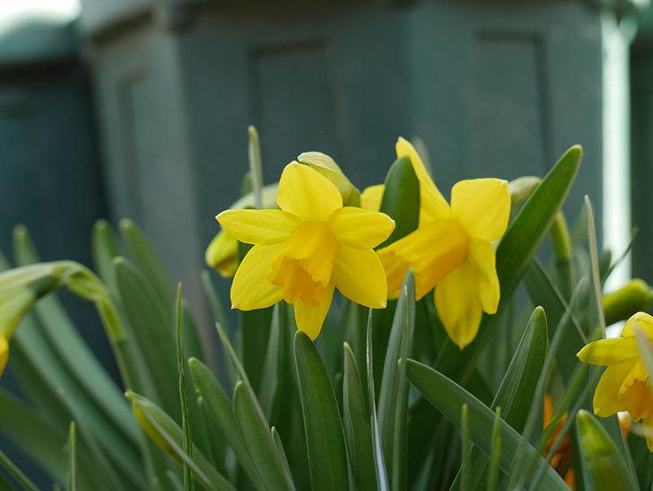 テタテート(ミニスイセン)の花が咲いた。2021年-004.jpg