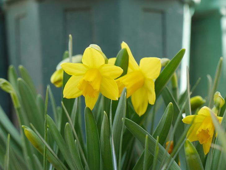テタテート(ミニスイセン)の花が咲いた。2021年-005.jpg