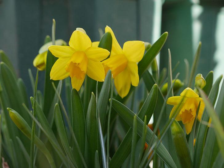 テタテート(ミニスイセン)の花が咲いた。2021年-006.jpg