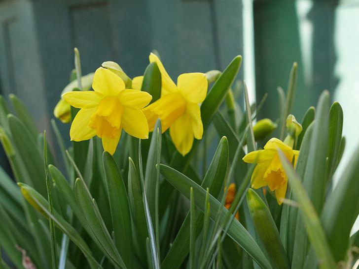 テタテート(ミニスイセン)の花が咲いた。2021年-007.jpg