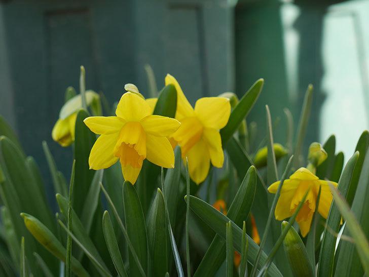 テタテート(ミニスイセン)の花が咲いた。2021年-008.jpg