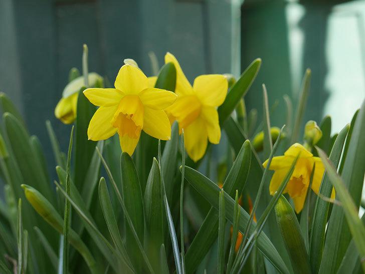 テタテート(ミニスイセン)の花が咲いた。2021年-009.jpg