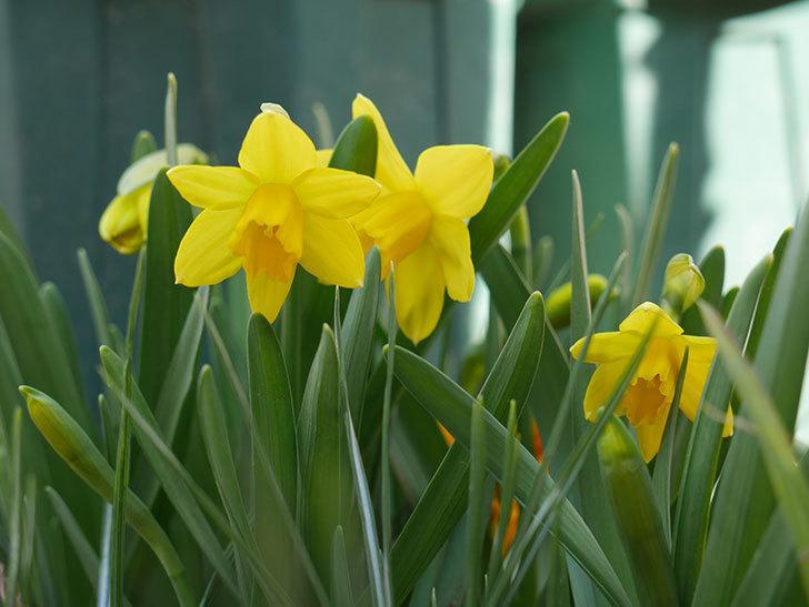テタテート(ミニスイセン)の花が咲いた。2021年-010.jpg
