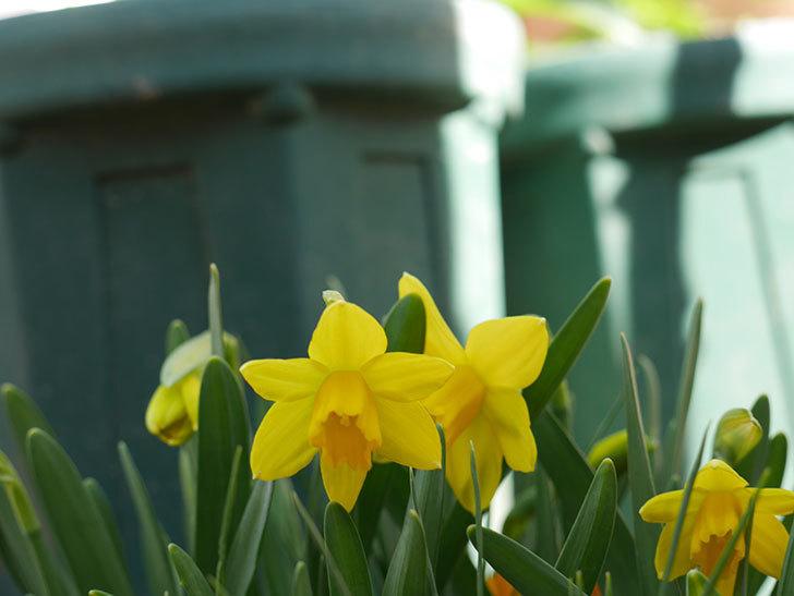 テタテート(ミニスイセン)の花が咲いた。2021年-012.jpg
