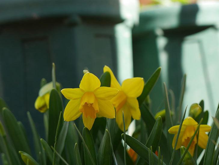 テタテート(ミニスイセン)の花が咲いた。2021年-013.jpg