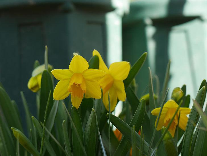 テタテート(ミニスイセン)の花が咲いた。2021年-014.jpg