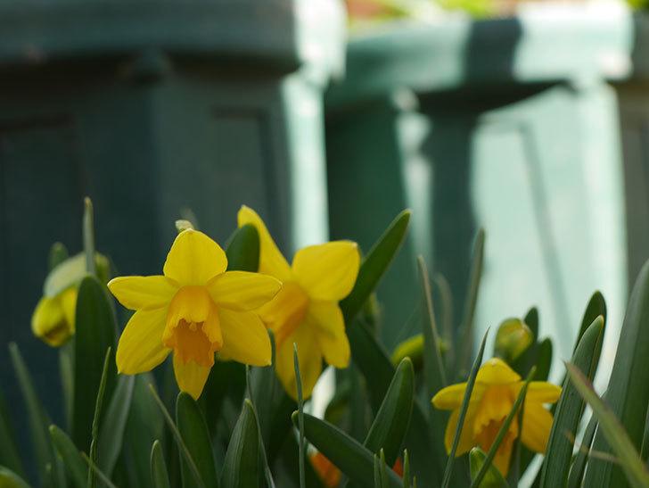 テタテート(ミニスイセン)の花が咲いた。2021年-015.jpg