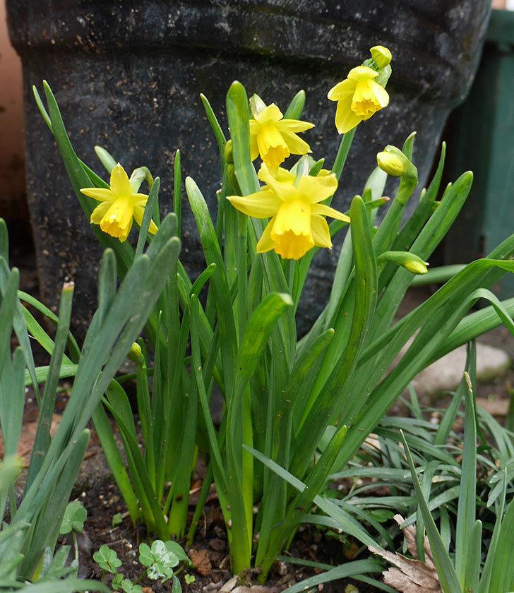 テタテート(ミニスイセン)の花が増えてきた。2018年-1.jpg