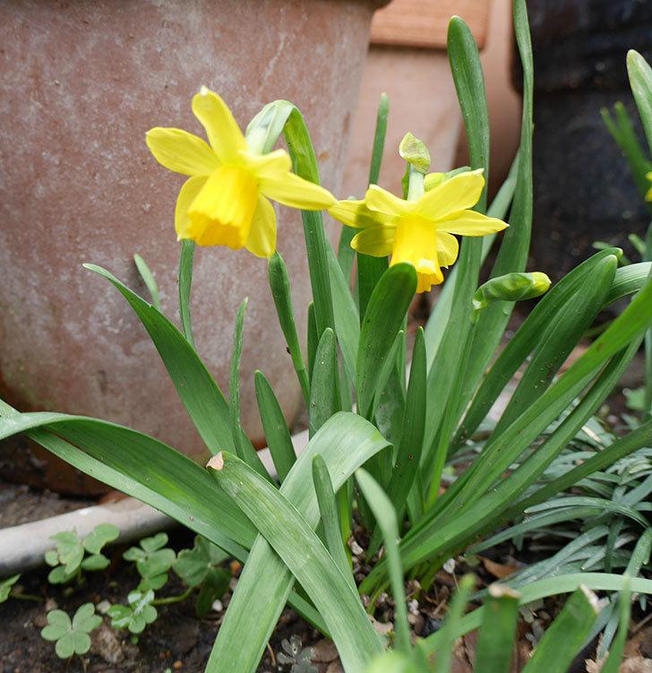 テタテート(ミニスイセン)の花が増えてきた。2018年-4.jpg
