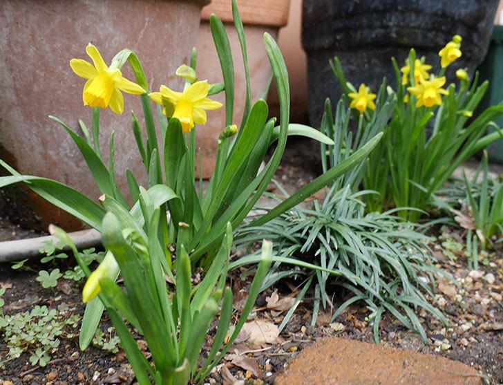 テタテート(ミニスイセン)の花が増えてきた。2018年-5.jpg