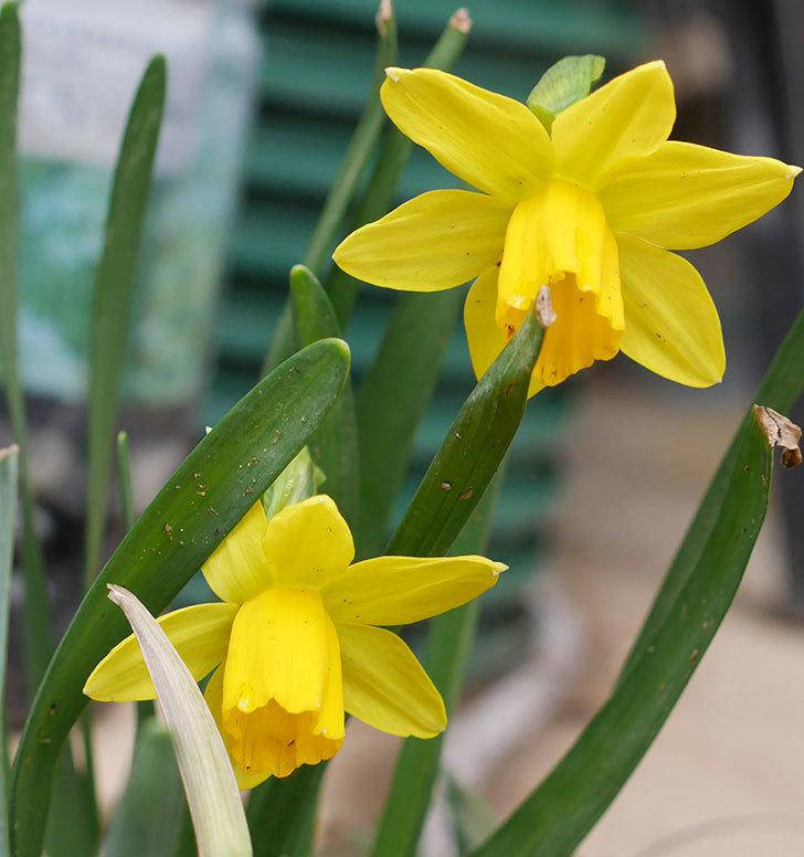テタテート(ミニスイセン)の花が増えてきた。2018年-8.jpg
