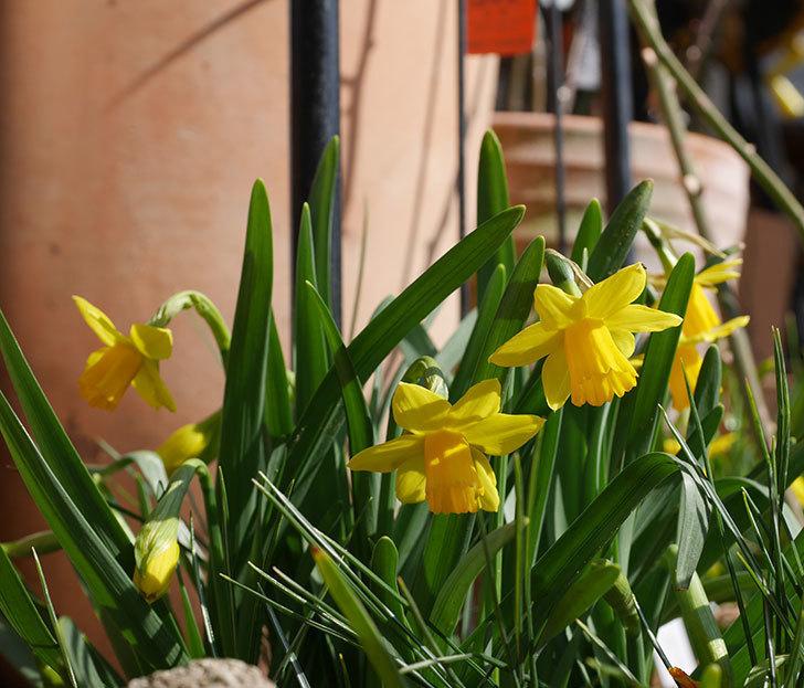 テタテート(ミニスイセン)の花が増えて来た。2020年-1.jpg