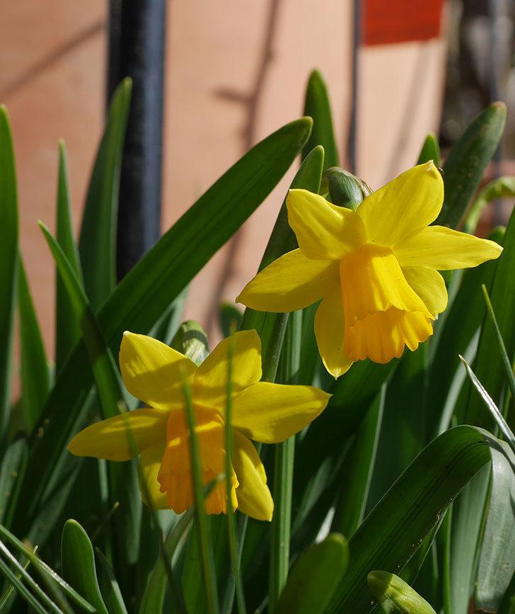 テタテート(ミニスイセン)の花が増えて来た。2020年-3.jpg
