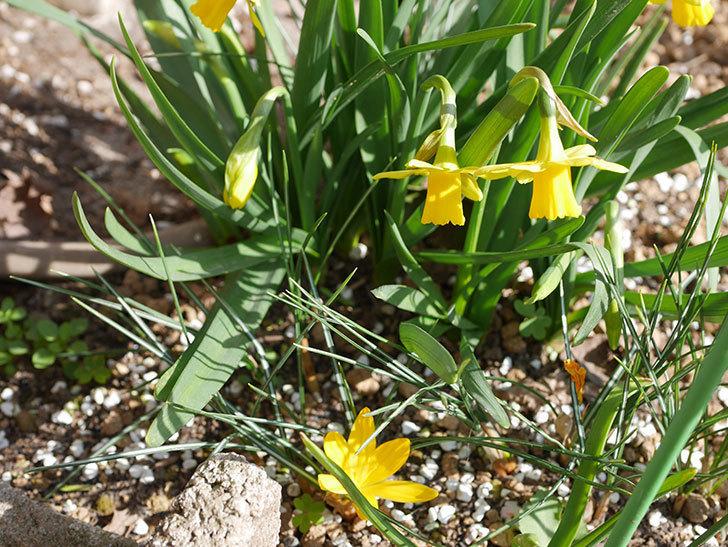 テタテート(ミニスイセン)の花が増えて来た。2020年-4.jpg