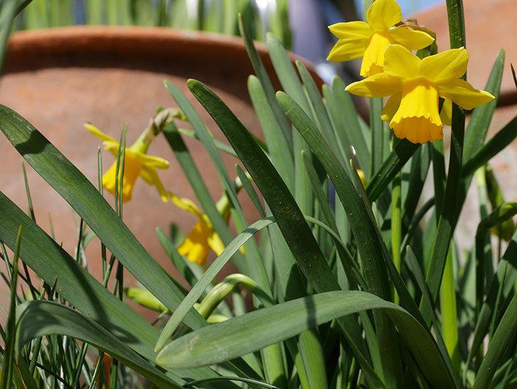 テタテート(ミニスイセン)の花が増えて来た。2020年-5.jpg