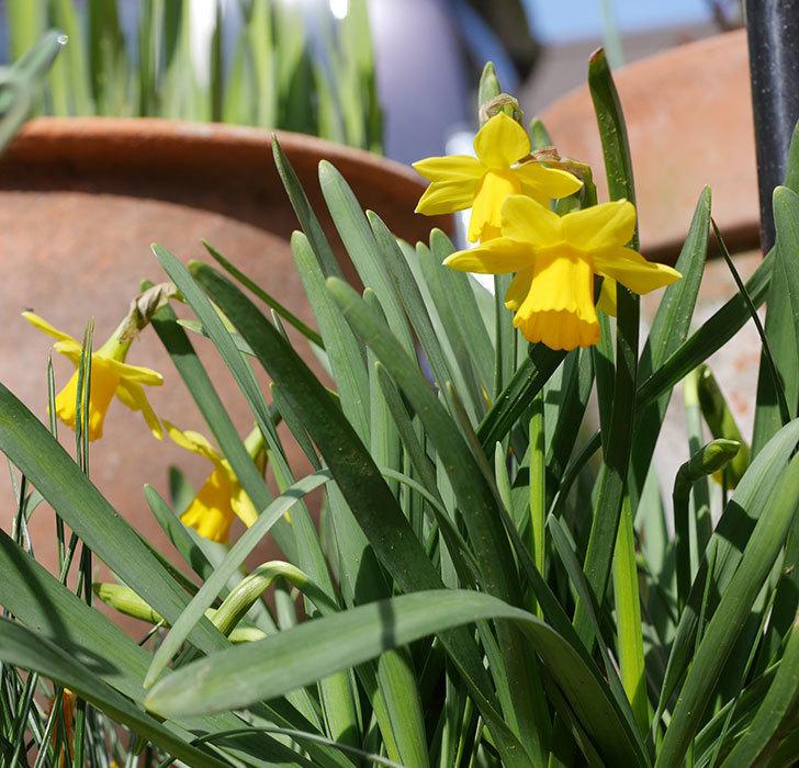 テタテート(ミニスイセン)の花が増えて来た。2020年-6.jpg