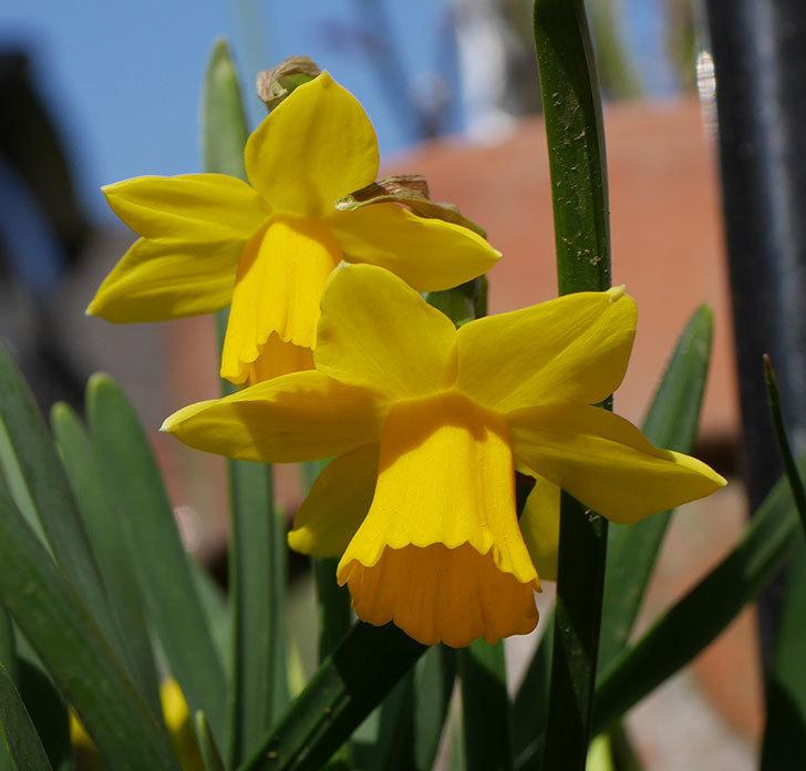 テタテート(ミニスイセン)の花が増えて来た。2020年-7.jpg