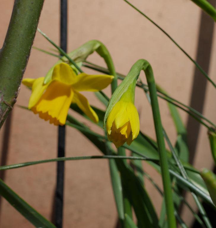 テタテート(ミニスイセン)の花が増えて来た。2020年-8.jpg