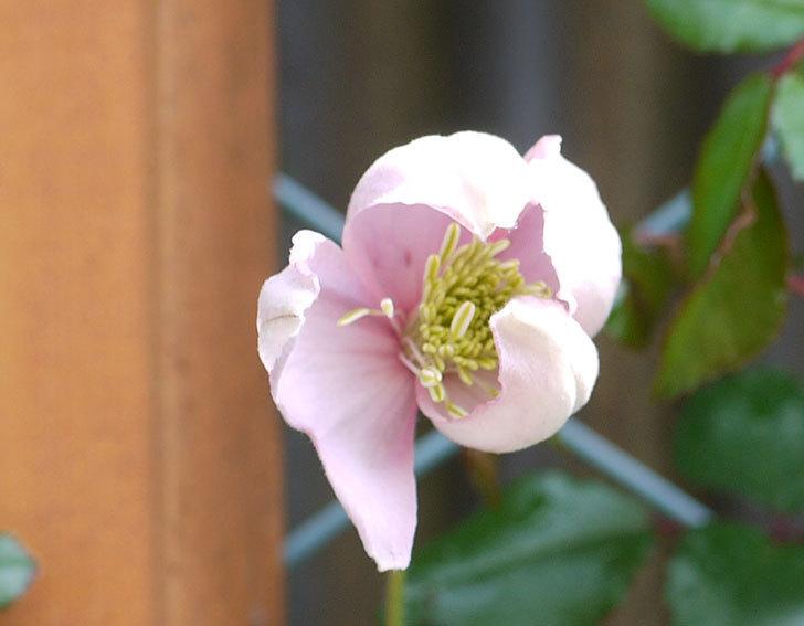 テッセン(クレマチス)の花が少しだけ咲いた。2017年-2.jpg