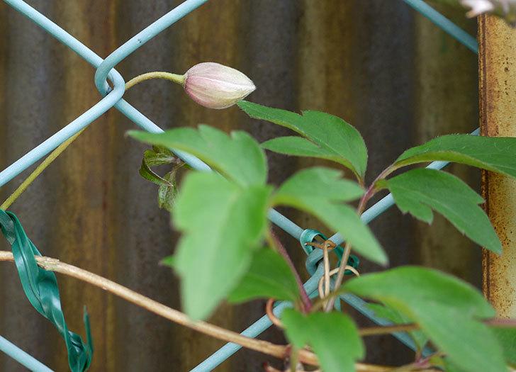 テッセン(クレマチス)の花が少しだけ咲いた。2017年-5.jpg