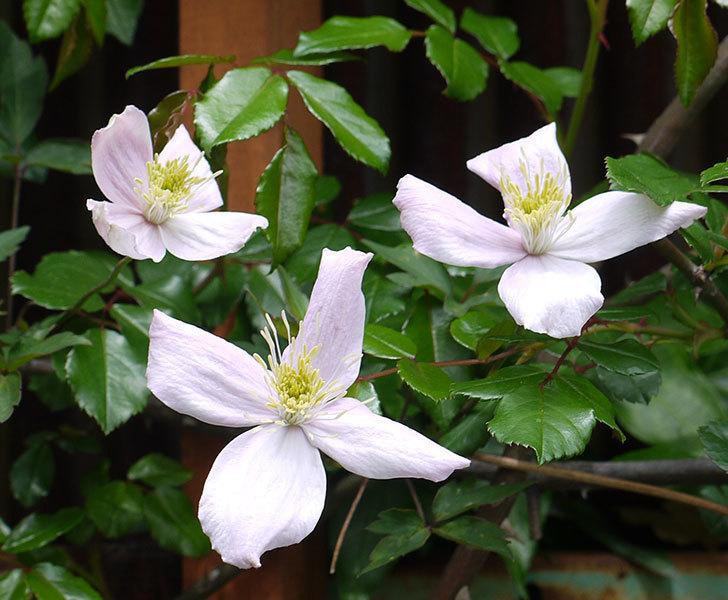 テッセン(フロリダ(テッセン)系、新・旧両枝咲き)の花が増えてきた。2017年-2.jpg