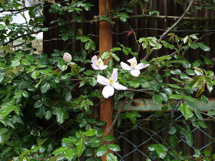 テッセン(フロリダ(テッセン)系、新・旧両枝咲き)の花が増えてきた。2017年-3.jpg
