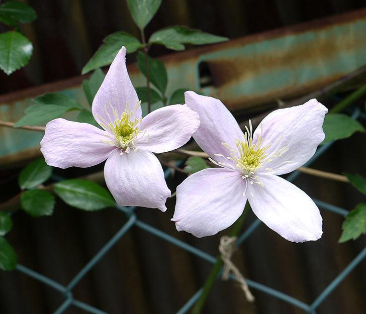 テッセン(フロリダ(テッセン)系、新・旧両枝咲き)の花が増えてきた。2017年-4.jpg