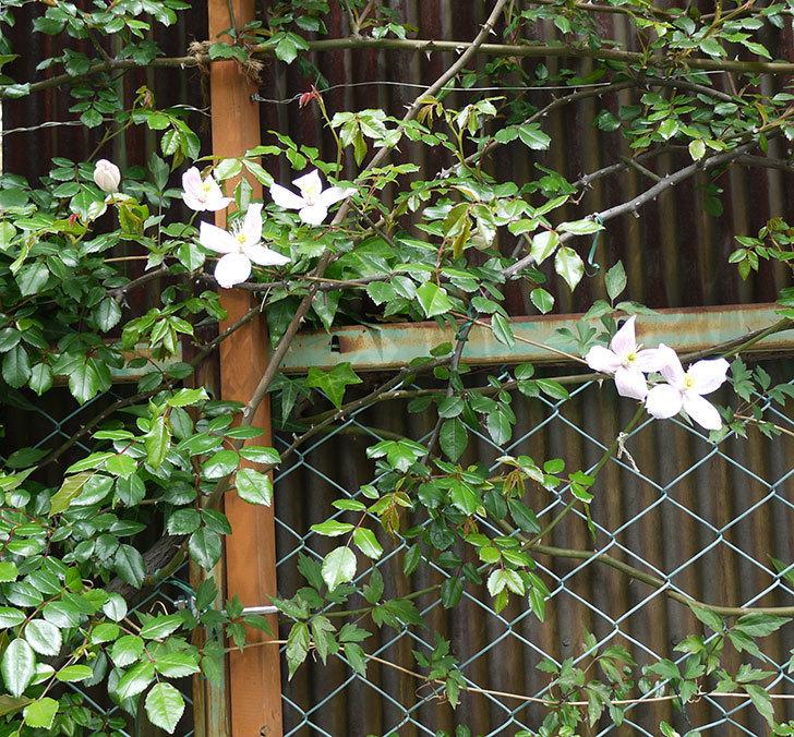 テッセン(フロリダ(テッセン)系、新・旧両枝咲き)の花が増えてきた。2017年-5.jpg