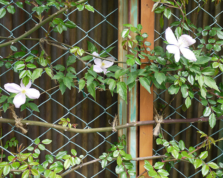 テッセン(フロリダ(テッセン)系、新・旧両枝咲き)の花が増えてきた。2017年-6.jpg