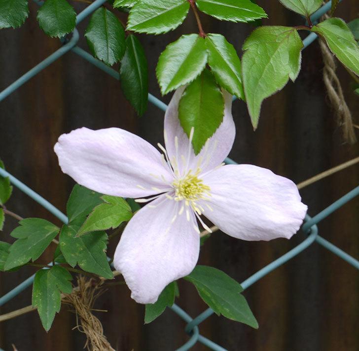 テッセン(フロリダ(テッセン)系、新・旧両枝咲き)の花が増えてきた。2017年-7.jpg