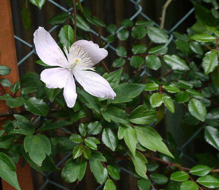 テッセン(フロリダ(テッセン)系、新・旧両枝咲き)の花が増えてきた。2017年-8.jpg