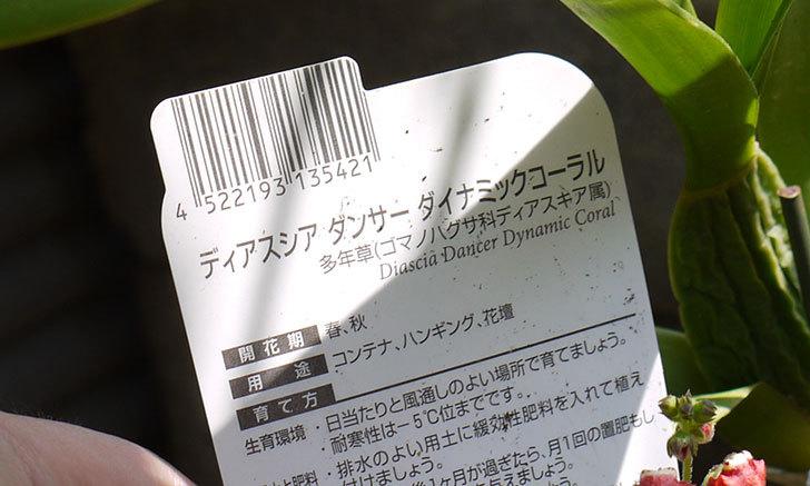 ディアスシア-ダンサー-ダイナミックコーラルが咲いた5.jpg