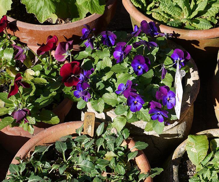 ディージェイ(ビオラ)ネオンバイオレッドが咲いた。2017年-5.jpg