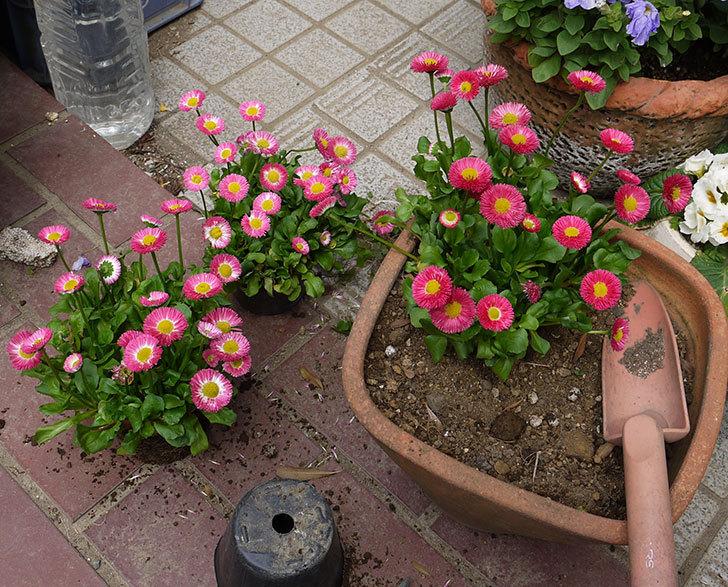 デイジー(ヒナギク)を鉢に植えた1.jpg