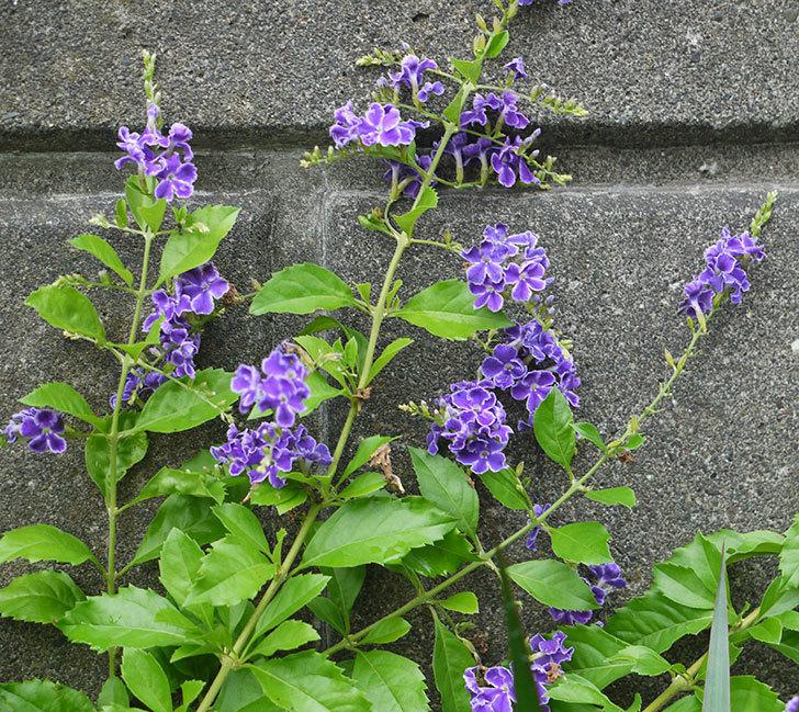 デュランタ-宝塚がたくさん咲いた。2017年-1.jpg